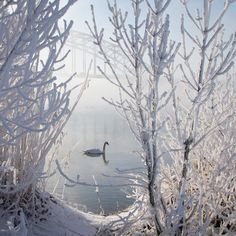 Winter Swan, Zwolle, Overyssel, Netherlands