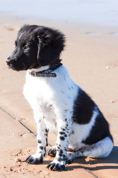 Friese stabij puppy by Sharon Wittebrood