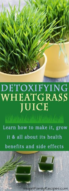 Learn all about how to make your own Wheatgrass juice and shots at home! PLUS how to grow wheatgrass the health benefits and side effects Learn about this detox superfood that you need to be incorporating into your healthy lifestyle! click now for more. Healthy Juice Recipes, Best Smoothie Recipes, Good Smoothies, Healthy Juices, Healthy Drinks, Detox Drinks, Vegan Recipes, Green Smoothies, Shake Recipes