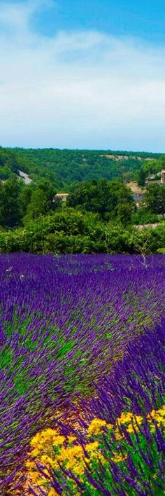 ¤  Lavender Fields by Banon, Provence, France. M.M.