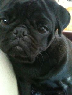 Jane and I are getting a baby pug and naming it Nugget.