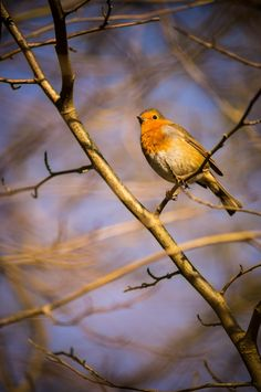 Robin by Mike Griggs on 500px