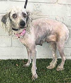 OWNER SURRENDER!!! My Name is OHANA. Female, Gray & Tan Poodle - Standard and Terrier. I am about 2 years old. I m available on March 6, 2017. You can visit me at L.A. County Animal Care Control: Castaic Shelter 31044 N. Charlie Canyon Rd. Castaic, CA