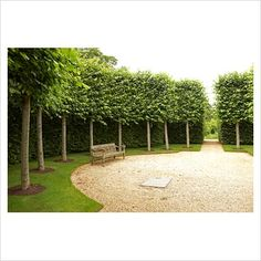 GAP Photos - Garden & Plant Picture Library - Pleached Tilia x europea 'Pallida' Kaiser Linden and Carpinus - Hornbeam hedge enclosure with old wooden bench at Broughton Grange - GAP Photos - Specialising in horticultural photography