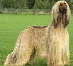 Resultado de imagen para razas de perros grandes