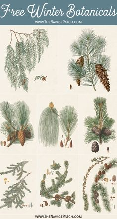 These 10 free winter botanical printables have a timeless, vintage look, and they're perfect to display all winter long on a gallery wall or individually! Vintage Botanical Prints, Vintage Art Prints, Botanical Drawings, Botanical Posters, Christmas Drawing, Christmas Art, Christmas Ideas, Vintage Christmas, Christmas Decorations