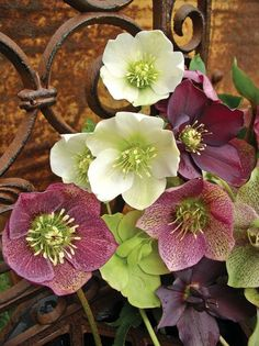 The Winter Rose (Hellebore) - country style beauty. I think this is the same as well he Lenten Rose here in the USA. Winter Plants, Winter Flowers, Winter Garden, Shade Garden, Garden Plants, Exotic Flowers, Beautiful Flowers, Lenten Rose, Pot Plante