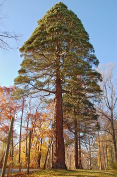 Giant_Sequoia_Sequoiadendron_giganteum_Tyler_Tree_2000px.jpg (2000×3008)
