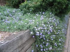 Com - Convolvulus mauritanicus - morocco glory-bind Ground Cover Plants, Plant Images, Landscaping Plants, Types Of Flowers, Drought Tolerant, Woodstock, Pathways, Morocco, Landscape Design