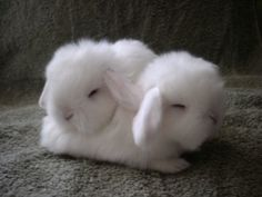 oh so sweet pair of angora bunnies