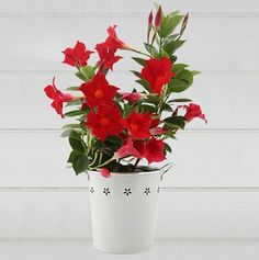 Famous for developing spectacular flowers in warm climates, this gorgeous Mandevilla plant makes the perfect Spring/Summer gift. Offering a striking contrast against its keepsake white pail, it will also add beauty to an indoor setting. Flower Pots, Flowers, Plants Online, Top Gifts, Online Gifts, Flower Delivery, Planter Pots, Herbs, Buy Plants