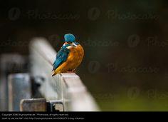 Foto 'Eisvogel auf Geländer' von 'Skymountain.de'