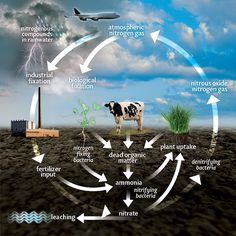 Did you know pure nitrogen cannot be used by plants? Open and print to learn or teach about the Nitrogen cycle. -AgSource Laboratories. http://documents.crinet.com/AgSource-Cooperative-Services/Agronomy/F-04190-12---Nitrogen-Cycle-FS-GENERIC.pdf