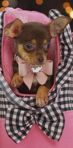 Effective Potty Training Chihuahua Consistency Is Key Ideas. Brilliant Potty Training Chihuahua Consistency Is Key Ideas. Teacup Chihuahua For Sale, Baby Chihuahua, Teacup Pomeranian, Little Dogs, Beautiful Dogs, Animals Beautiful, Cute Puppies, Cute Dogs, Poodle Puppies