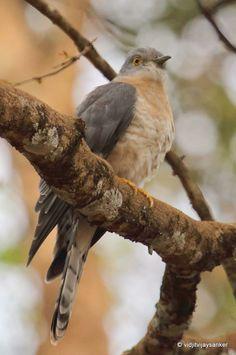Common Hawk-Cuckoo, India by Vidjit Vijaysanker