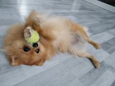 Find Out More On Fun Pomeranian Puppy Temperament Teacup Pomeranian, Pomeranian Puppy, Chihuahua, Cute Puppies, Cute Dogs, Beautiful Dogs, Small Dogs, Cute Pictures, Corgi