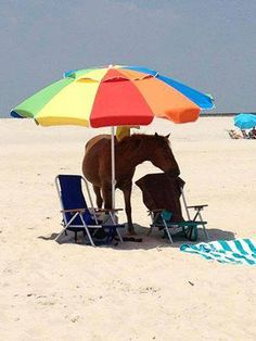 Even our wild horses need shade - Wild Horses of Corolla - Outer Banks, NC