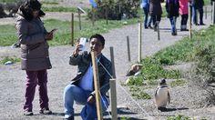 En la colonia de Punta Tombo, la más grande colonia continental de Pinguinos de Magallanes, ya llegaron los machos, que están arreglando los nidos, luego de pasar 6 meses en el mar alimentándose. En los próximos días llegan las hembras y pondrán 2 huevos. Se irán al mar a alimentarse y por lo menos por dos semanas los machos empollarán. Luego los reemplaza la hembra para que el macho coma. (Daniel Feldman)