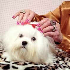 What is the Maltese Dog Breed?