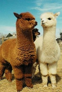 ALPACAS.  Seriously cute.