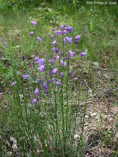 6ef165b6afaa Campanula rotundifolia - Harebell I ve read this is a native variety