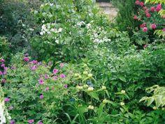 Davidia, Geranium psilostemon and Rosa Cerise Bouquet