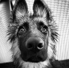 German Shepherd Dog- Puppy