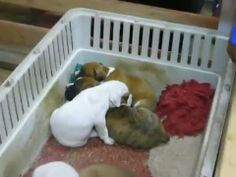 There comes a time when every daddy must find the trick to putting his babies down for a nap. Watch these five Boxer puppies give in to sleep as they ...