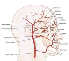 Minimally Invasive Face and Neck Lift Using Silhouette Coned Sutures Human Anatomy Drawing, Human Anatomy And Physiology, Muscle Anatomy, Body Anatomy, Arteries Anatomy, Nerve Anatomy, Facial Anatomy, Facial Nerve, Gross Anatomy