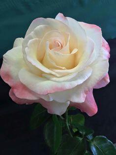 Tacoma Rose Show