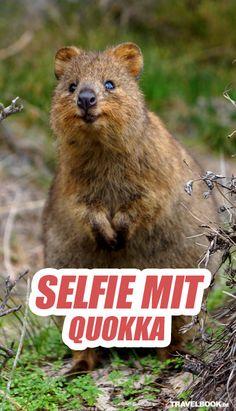Quokkas, die kleinen Beuteltiere aus Australien, sind ziemlich fotogen - und zu jedem Selfie bereit. Hier geht es zur Galerie: http://www.travelbook.de/welt/Beuteltier-ist-der-Hit-im-Netz-Neuer-Touri-Trend-Selfie-mit-Quokka-618062.html