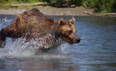 Can National Parks Keep Bears Wild?