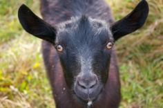 Goat's eyes have rectangular pupils, which allow them to watch over their broad, flat grazing area for predators.