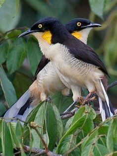 Black-capped Donacobius: Amazon black-water lagoons | tropicalbirding.com