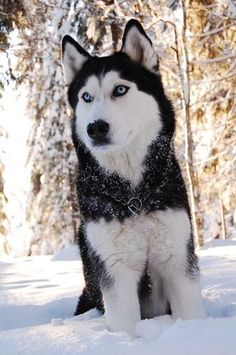 Blue-eyed Siberian Husky named Kiira in the snow. Blue-eyed Siberian Husky named Kiira in the snow. Source by annasstrong The post Blue-eyed Siberian Husky named Kiira in the snow. appeared first on Ford Dogs. Alaskan Husky, Alaskan Malamute, Malamute Husky, Wolf Husky, My Husky, Husky Puppy, Beautiful Dogs, Animals Beautiful, Cute Animals
