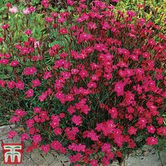 Rockery Stones, Dianthus Flowers, Hardy Perennials, Garden Inspiration, Garden Ideas, Planting Seeds, Flower Seeds, Garden Supplies, Red Flowers