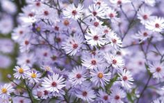 Aster 'Little Carlow' AGM   Masses of violet blue daisy like flowers, September and October. Deep green leaves.Height 90cm. Spread 45cm. Sun/shade, prefers moist, well-drained soil.