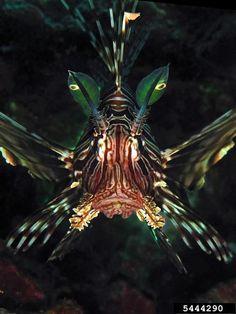 Devil Firefish | devil firefish, Pterois miles (Scorpaeniformes: Scorpaenidae ...