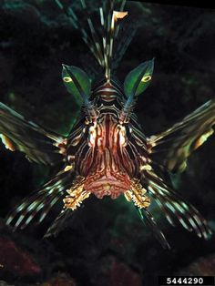 Devil Firefish   devil firefish, Pterois miles (Scorpaeniformes: Scorpaenidae ...