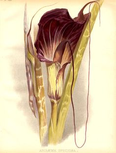 Araceae - Arisaema speciosum. From: The garden. An illustrated weekly journal of horticulture in all its branches by William Robinson (editor).