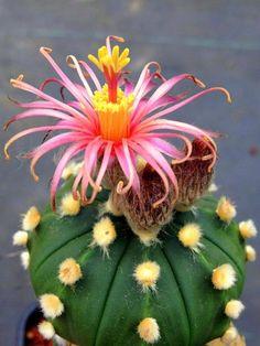Bella flor de cactus                                                                               Más