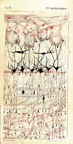 """""""Olfactory Bulb [of a Dog],"""" Camillo Golgi, pen and ink on paper, 1875"""
