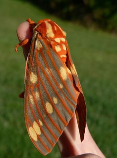 Regal Moth. It would be terrifying to have this flying around your lightbulb!!