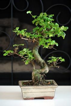 9GreenBox -Ligustrum Chinensis Bonsai  w/ Fertilizer Christmas Gift $19.99