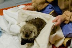 Meshik - Baby Otter! Quite possibly the most adorable thing in the universe. OMG THE CUTENESS.