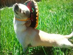 Yoga-sombrero dog