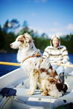 What do you call a herding dog that originates in the Western United States? Why, an Australian Shepherd, of course!