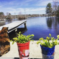 The Audreys' first day outside of the year with bonus cat. #catsofinstagram #tortie #venusflytrap #vftofinstagram by kelseyemry