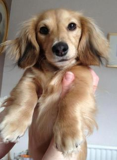 """Find out more info on """"Dachshund Puppies"""". Look into our internet site. Dachshund Breed, Dachshund Funny, Doxie Puppies, Mini Dachshund, Weenie Dogs, Dapple Dachshund, Golden Dachshund, Mini Long Haired Dachshund, Doggies"""