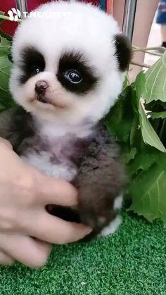 Cute Panda Baby, Baby Animals Super Cute, Cute Wild Animals, Baby Animals Pictures, Little Panda, Cute Little Animals, Baby Panda Pictures, Baby Pandas, Animals Beautiful